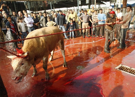 livestock slaughter animals Animal slaughter is the killing of animals, usually referring to killing domestic livestock in general, the animals would be killed for food  however, they might also be slaughtered for other reasons such as being diseased and unsuitable for consumption.